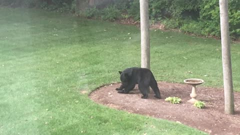 Black Bear Scratches his Back