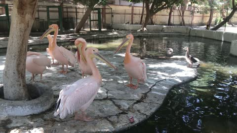 Gorgeous Great white pelican
