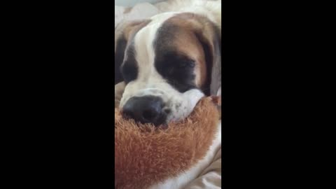 Dog Sucks On Stuffed Animal