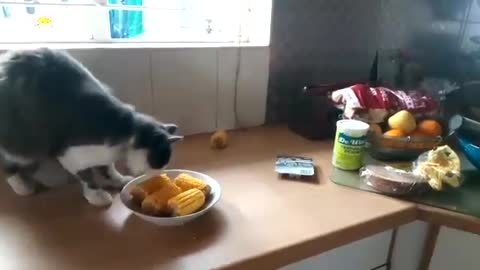 Kitten cought stealing Maize