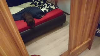 Confused Puppy Tries To Make Contact With Mirror Lookalike  - Video