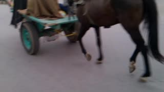 Two horse with a single cart