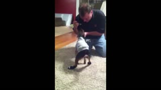 Little dog hates his new shoes - Video