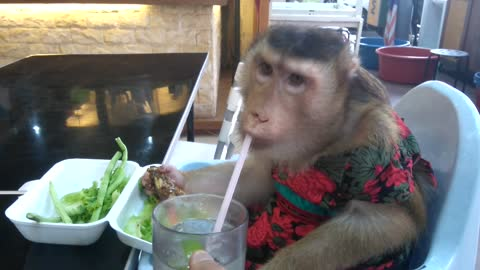 Monkey tries eating fish head