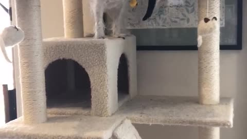 Little Dog Climbs To The Top Of Cat Tree And Eats Treats