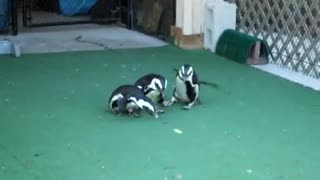 Penguins love laser pointers! - Video