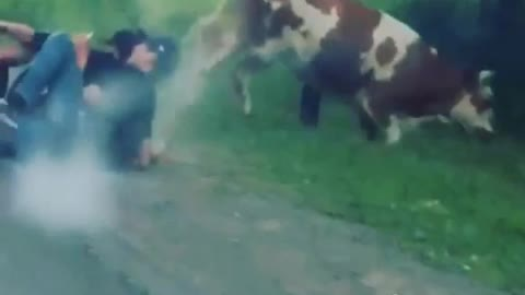 Drunk People On Moped Hit A Cow