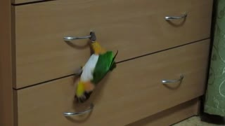 Talented Parrot! - Video