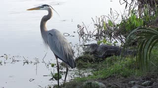 Great blue heron and alligator near lake