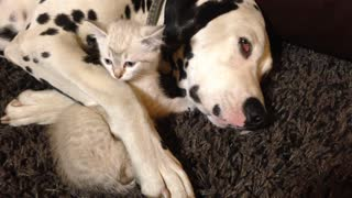 Sleepy Dalmatian cuddles with inquisitive kitten