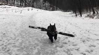 Dog loves carrying big sticks