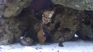 Blue Knuckle Hermit Crabs fight for dominance - Video