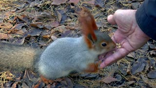 Beautiful hungry squirrel