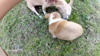 Cutest teacup chihuahua's acting tough