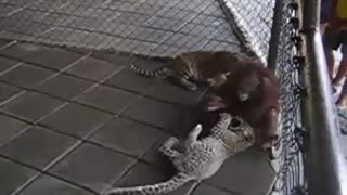 Monkeys and tigers fighting  - Video