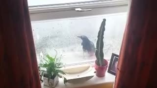 Persistent Bird Makes Futile Attempts To Enter House Through Glass