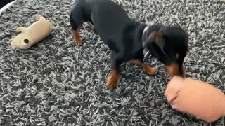 Hilarious Dach Sausage Dog Rips His Toy Pig apart