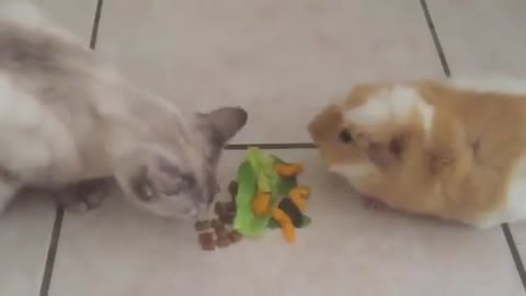 Guinea Pig and Cat eating together