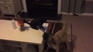 "English Mastiff puppy ""annoys"" cat"