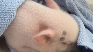Pickle the Mini Pig suddenly wakes up for raisins - Video