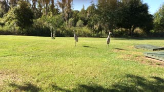 Sandhill Cranes talking to each other - Video