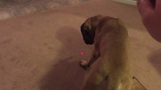 Two English Mastiff's vs Laser Pointer  - Video