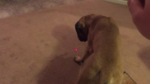 Two English Mastiff's vs Laser Pointer
