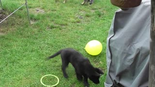 Puppy playing with balloon