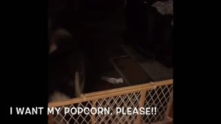 Siberian Husky Puppy Excited About Getting Popcorn! Cute Video  - Video