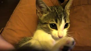 Teasing Atlas the kitty with her own tail - Video