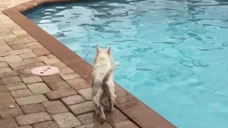 Excited Westie puppy shows off great diving form - Video