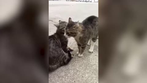 Fighting cats vs. Barking man