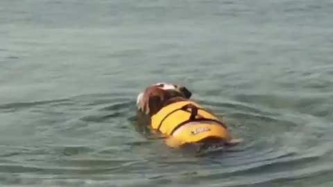 english bulldog swimming in his new life jacket