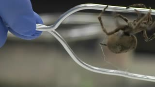 GM spider silk made by silkworms 50 percent stronger than alternatives, say researchers - Video