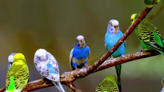 Budgerigar sounds - Video
