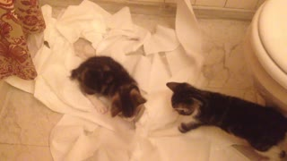 This is what happens when kittens discover toilet paper - Video