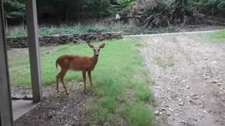 Feeding one of my pet deer named Babe