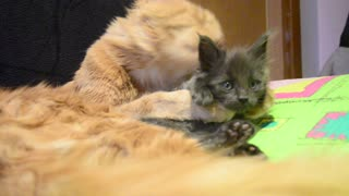 Caring cat washes adorable kitten - Video