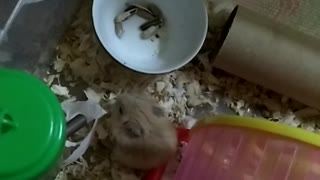 My pets - hamster eat - Video