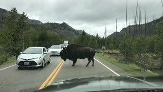 Massive bison completely stops traffic in Yellowstone