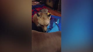 Cute Fox Gives Dog A Massage - Video