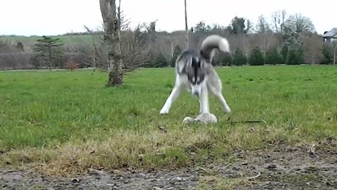 Husky and ferret enjoy the outdoors