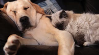 Dog and cat buddies preciously snuggle together - Video