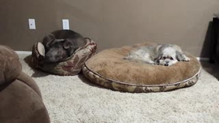 Dogs Play A Game Of Musical Beds
