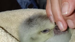 How to put a gosling to sleep - Video