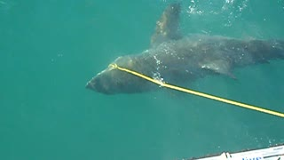 Huge shark slams into cage - Video