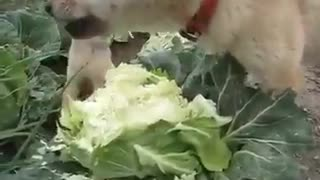 Two vegetarian dogs - Video