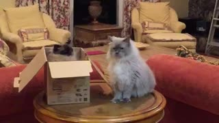 Cats put friendship aside for cardboard box dominance
