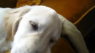 Sleeping Golden Retriever sings along to harmonica - Video
