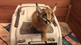 Caracal Cat that is so nervous as to be cute - Video